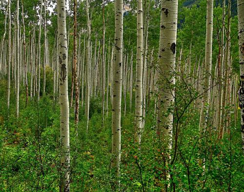 молодой лес